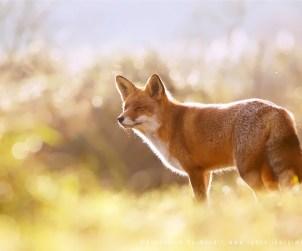 Heavenly Fox
