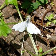 Falcate Orangetip butterfly