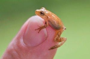 Peeper Frog1