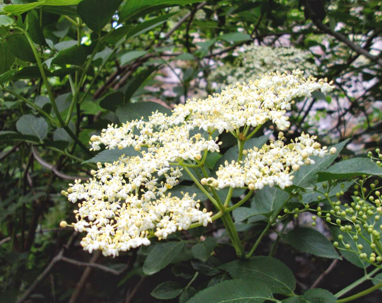 Бузина черная цветки фото