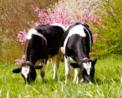 Grass Fed Cows iStock