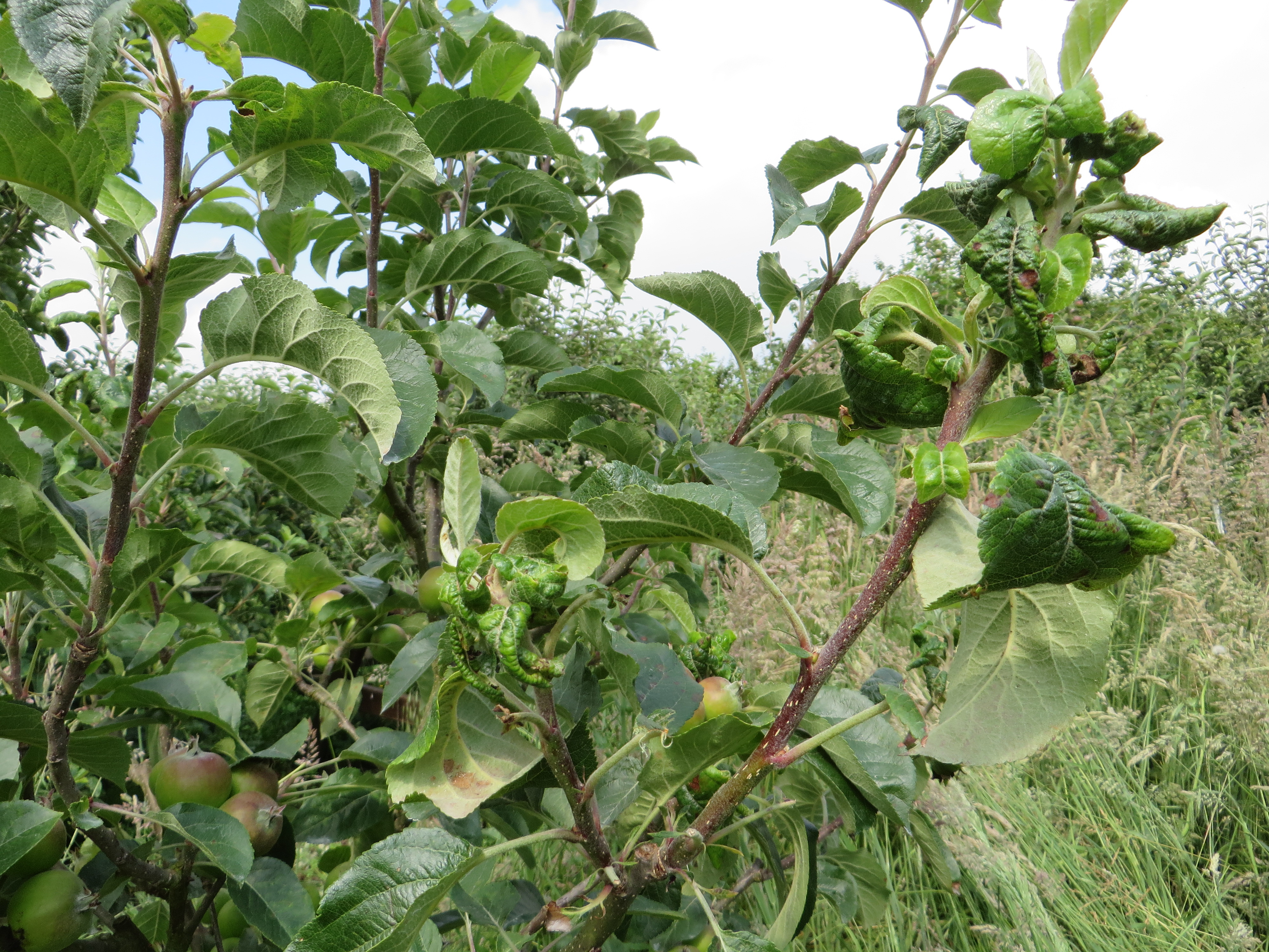 Fancy Rosy Apple Aphid Infected 2014 Apple Leaf Curling What Can I Fruit Forum Apple Tree Leaves Turn Yellow Apple Tree Leaves Yellowing houzz-02 Apple Tree Leaves