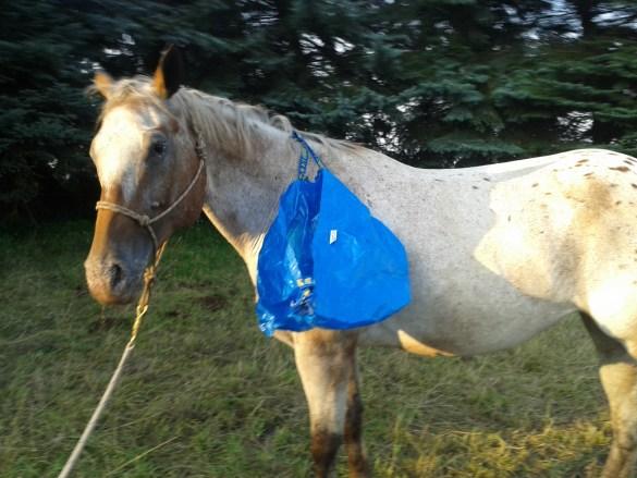 Die Tüte kann ich auch an das Pferd hängen - wenn ich schon viel desensibilisiert habe!