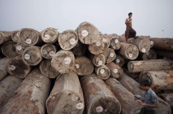 Experts say an insatiable world appetite for precious hardwoods is threatening rare species and helping to drive deforestation in one of the last major areas of tropical forest in Asia. AFP PHOTO / YE AUNG THU