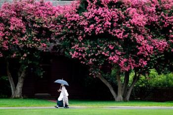A Colonial Williamsburg reenactor walks beneath an umbrella between two crepe myrtle trees Saturday afternoon. (Jonathon Gruenke)