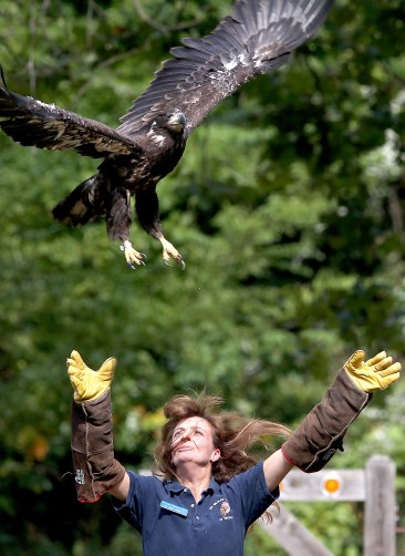 Kelli Knight of the Wildlife Center of Virginia release a bald eagle back into the wild at Chippokes Plantation State Park Thursday. The young eagle was rehabilitated after being found injured. (Rob Ostermaier)