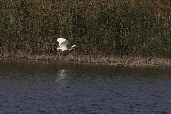 Ägretthägern blir skrämd och flyger sin väg ut över Vänern. Foto: Peter Ahlborg