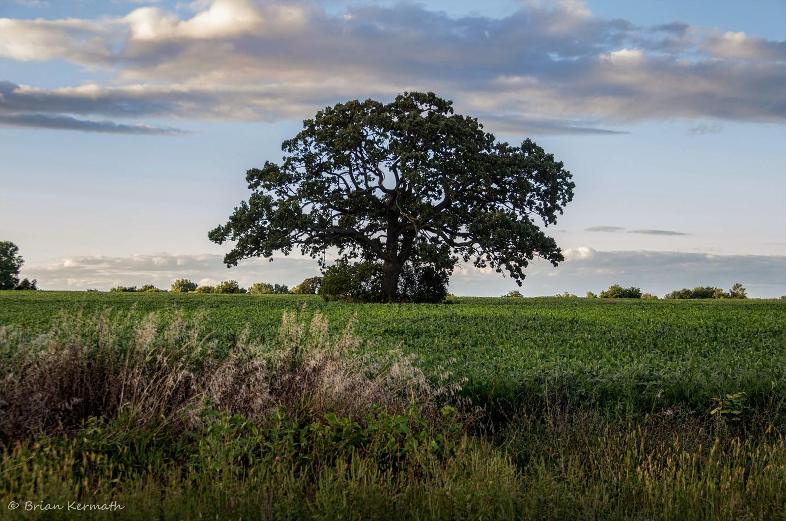 Masterly A Large Bur Oak Tree Macrocarpa Fagaceae Burr Oak Tree Bark Burr Oak Tree Mcbaine Mo Captured Farm Field houzz-03 Burr Oak Tree