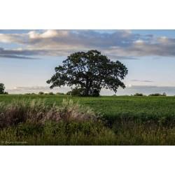 Small Crop Of Burr Oak Tree