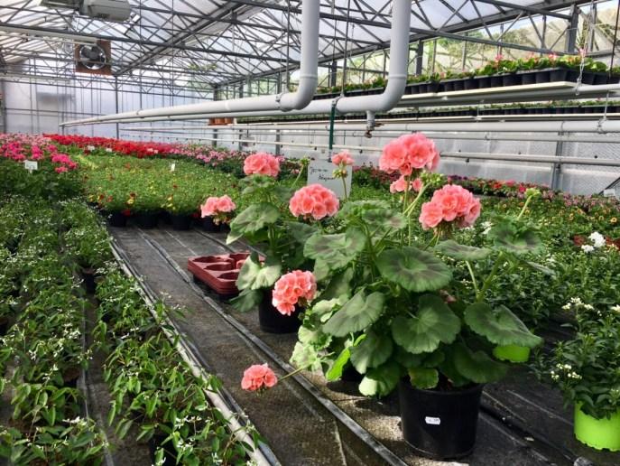Gärtnerei_Enge_Sommer_2018_Mai_Juni_Juli_Blumen_Pflanzen_8