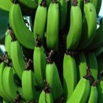 SHOCK: GMO Bananas To Be Tested On American Students