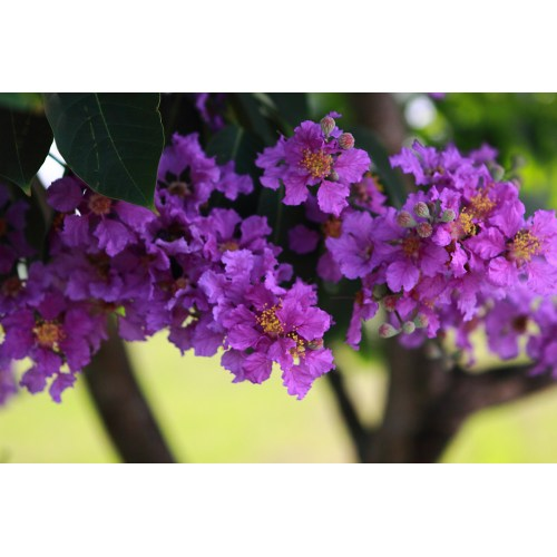 Medium Crop Of Trees With Purple Flowers