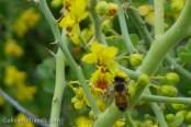 Honeybees love this yellow flower.