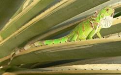 Iguana, uploaded by kingsnake.com user cycluracornuta