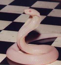 Albino Monocled Cobra, uploaded by kingsnake.com user MaxPeterson