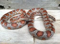 Corn Snake, uploaded by kingsnake.com user snakepunk