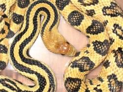 Pine Snake, uploaded by kingsnake.com user Allroy