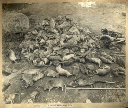 A heap of rats, c. Jul 1900. Digital ID 12487_a021_a021000010