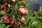 Apples in Sud Tirol