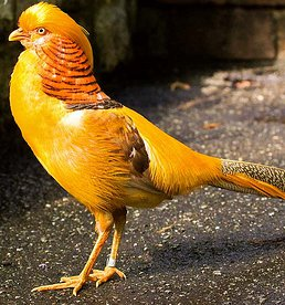 Yellow Golden Pheasant   Game Birds com Yellow Golden Pheasant