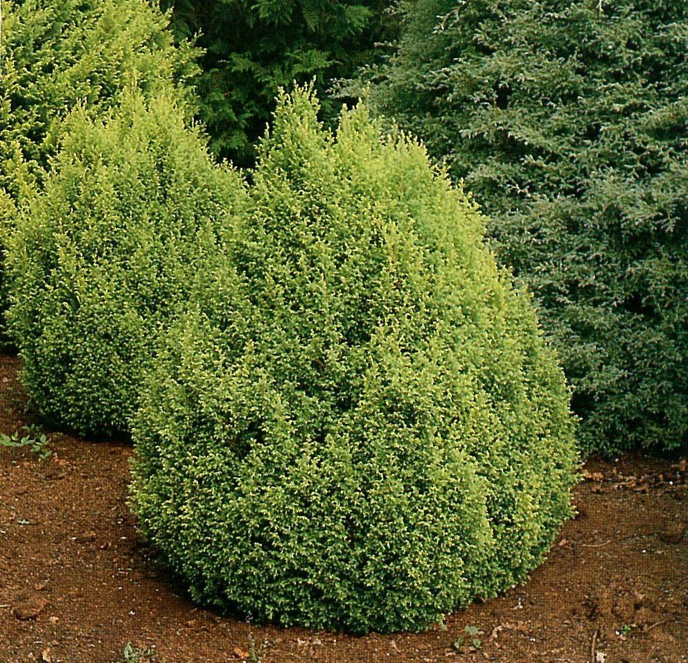 Fulgurant Cypress Garden Center Landscape Nursery G Mop Cypress Care Turning Brown G Mop Cypress Lowes houzz 01 Gold Mop Cypress