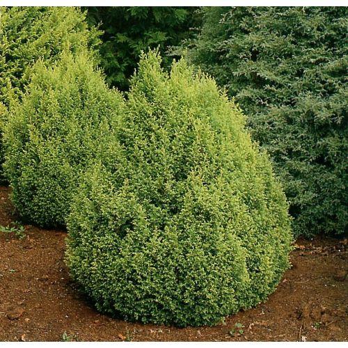 Medium Crop Of Gold Mop Cypress