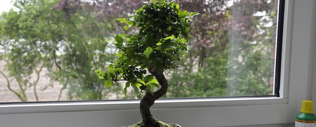 er ist da der liguster bonsai hat seinen platz eingenommen garden blog. Black Bedroom Furniture Sets. Home Design Ideas