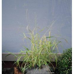 Small Crop Of Shenandoah Switch Grass