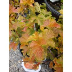 Small Crop Of Amber Jubilee Ninebark