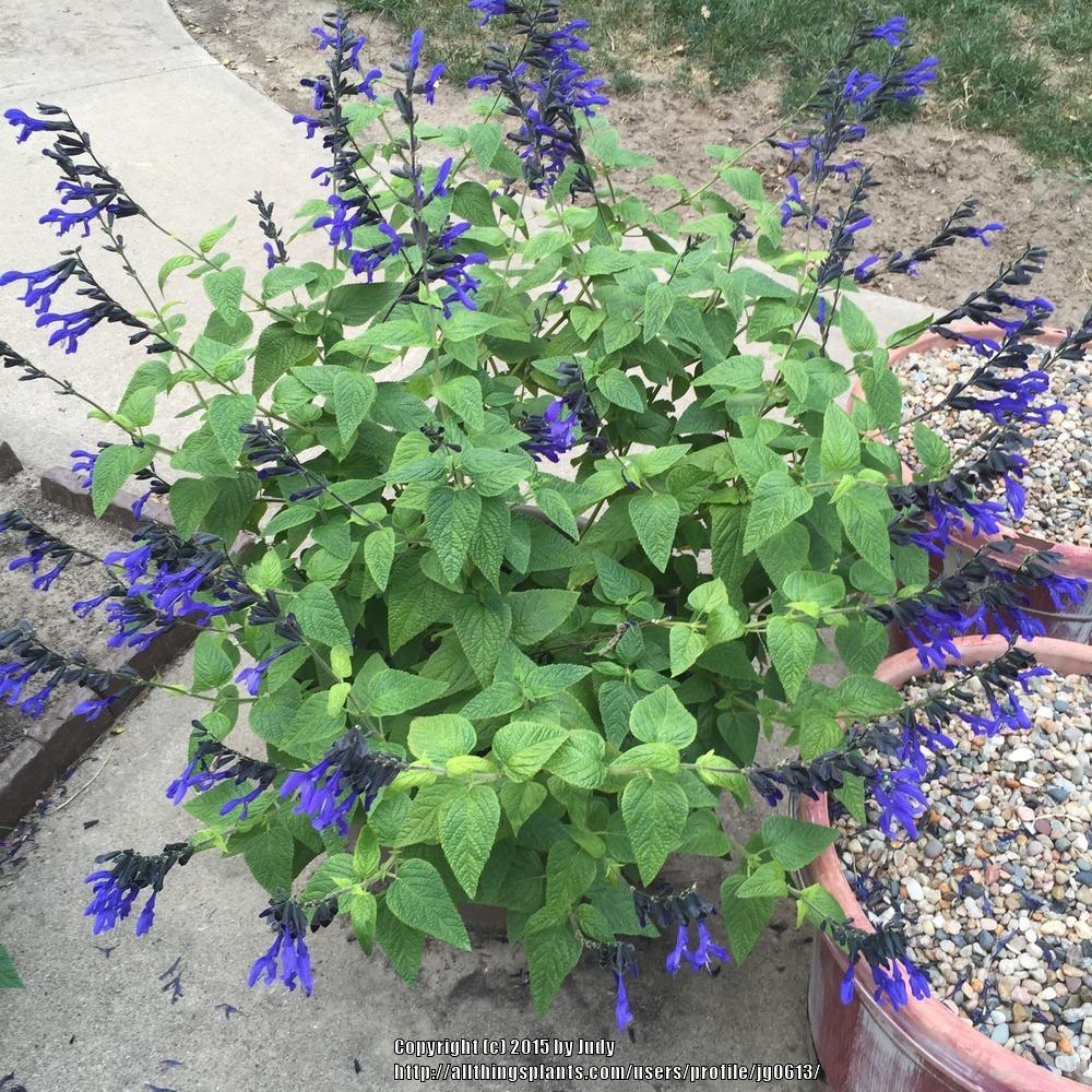 First Past Plants Blue Black Blue Salvias Pruning Sale Black Black Blue Salvias Day Salvias Thumb houzz 01 Black And Blue Salvia