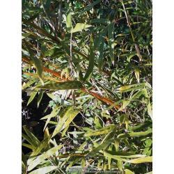 Small Crop Of Golden Goddess Bamboo