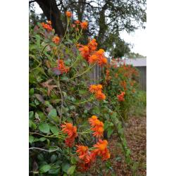 Small Crop Of Mexican Flame Vine