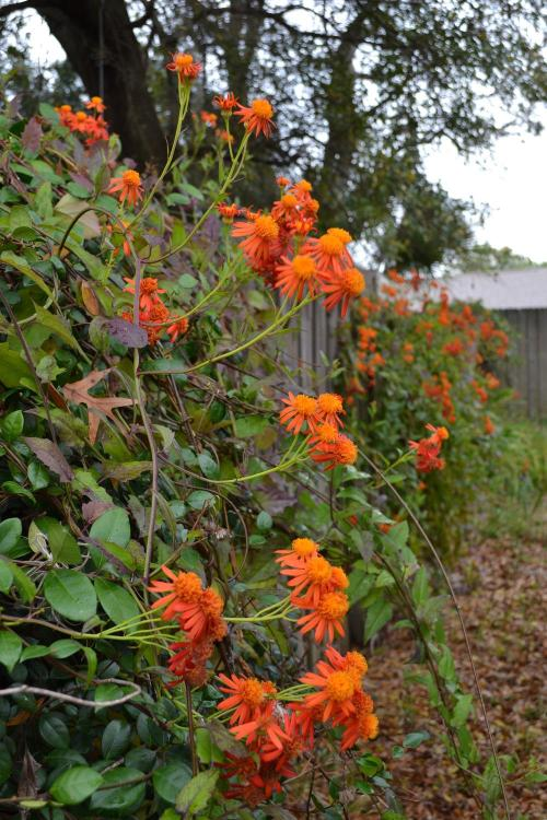 Medium Of Mexican Flame Vine
