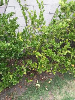 Small Of Wax Leaf Ligustrum