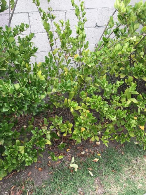 Medium Of Wax Leaf Ligustrum