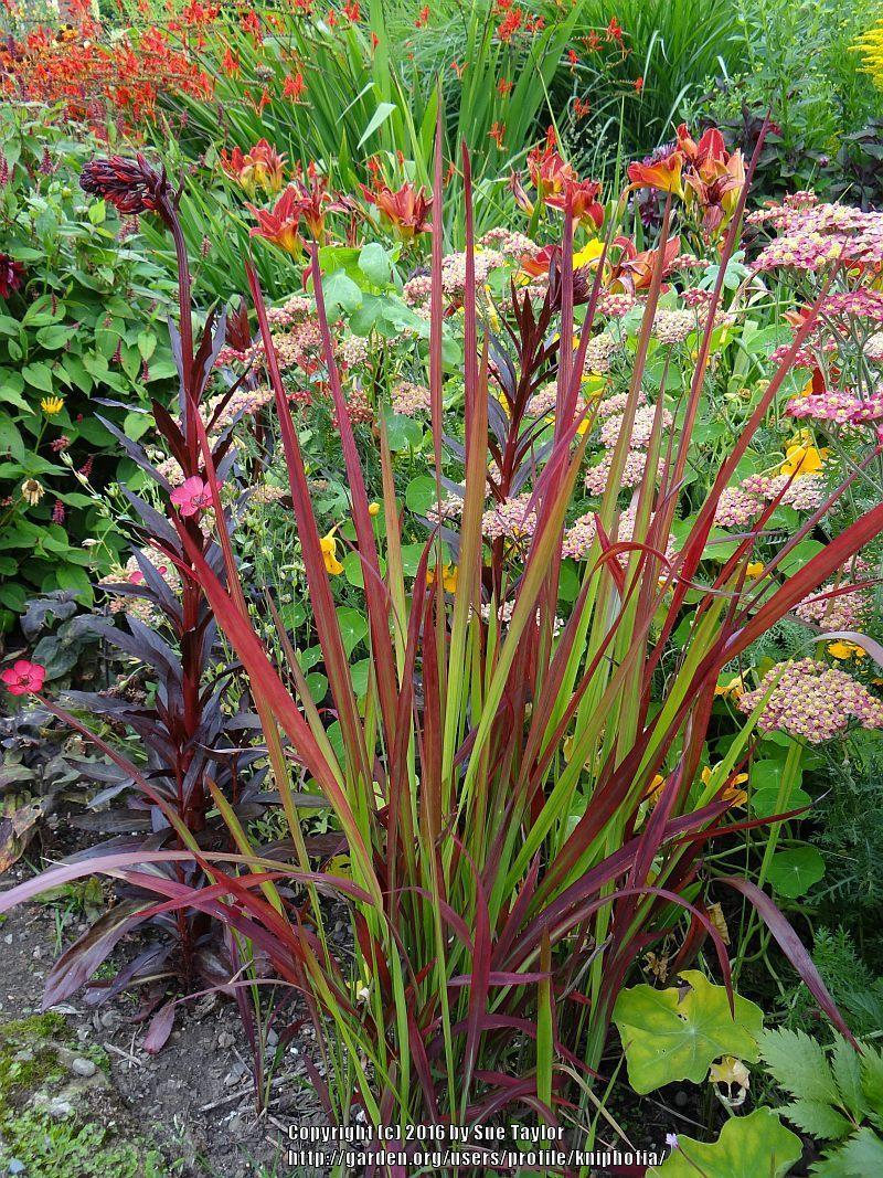 Eye Japanese Blood Grass Cylindrica Japanese Blood Grass Home Depot Japanese Blood Grass Images Leaves Photo Japanese Blood Grass Cylindrica Uploaded Bykniphofia Photo houzz 01 Japanese Blood Grass