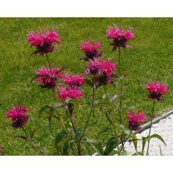Small Crop Of Bee Balm Seeds