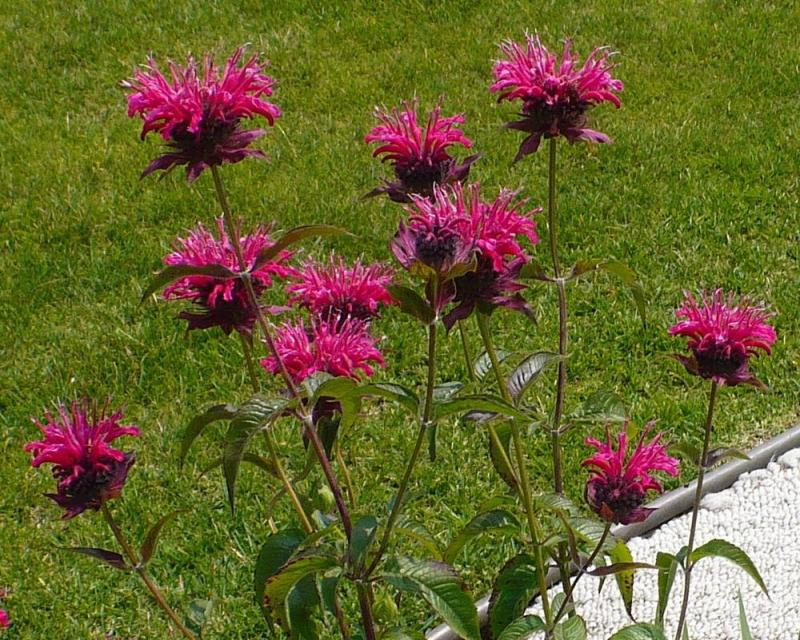 Large Of Bee Balm Seeds