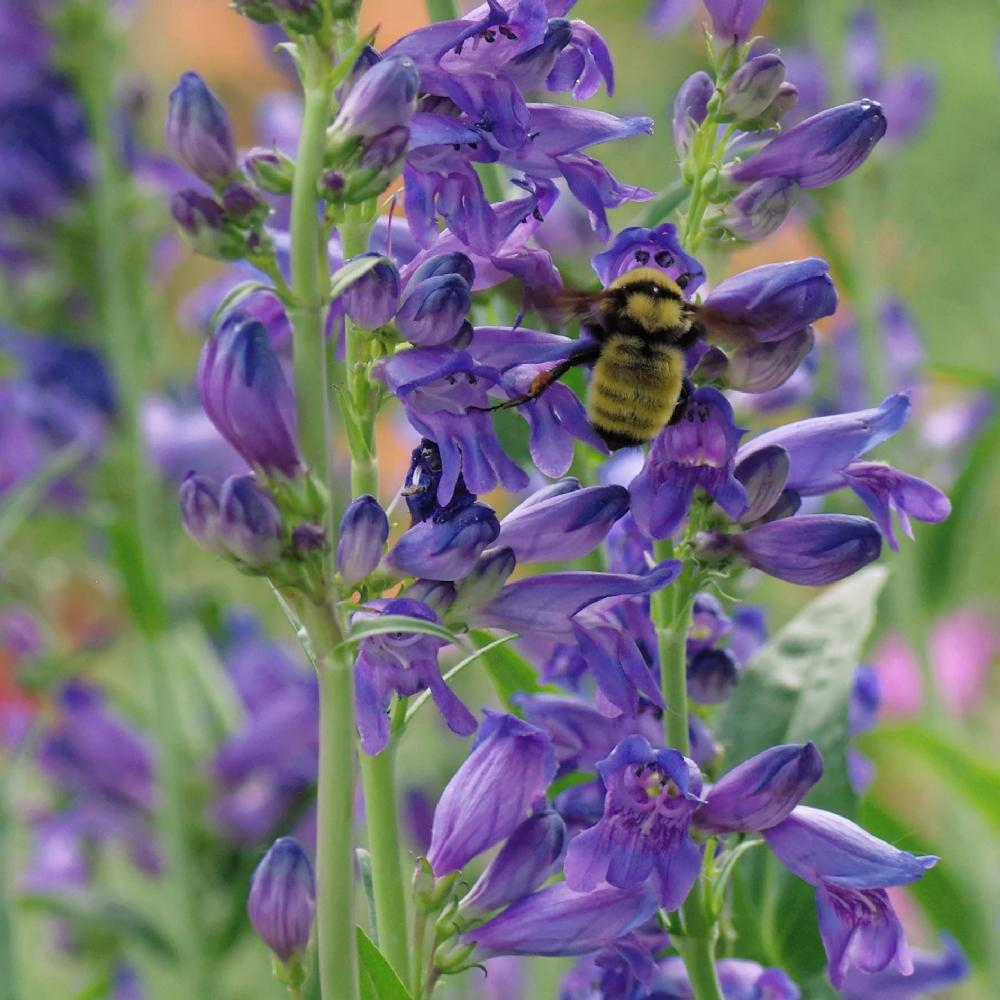 Artistic Rocky Mountain Penstemon Strictus Rocky Mountain Penstemon Poisonous Transplanting Rocky Mountain Penstemon Bloom Photo Rocky Mountain Penstemon Uploaded Bydirtdorphins Photo houzz-02 Rocky Mountain Penstemon