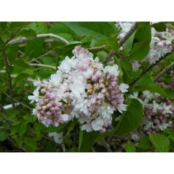 Small Crop Of Beauty Of Moscow Lilac