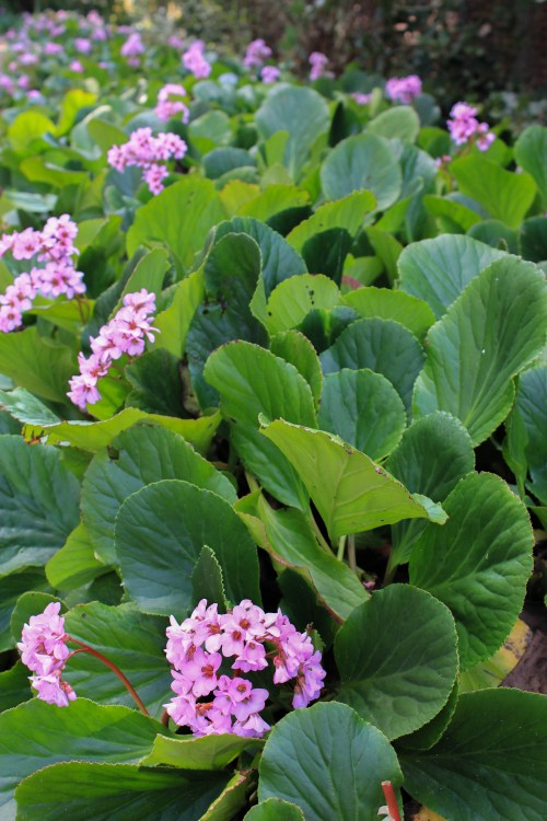 Bergenias provide great flowers and foliage.
