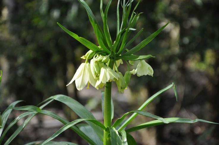 Fritillaria-Radeana
