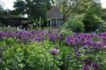 allium-purple-rain
