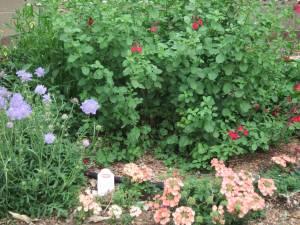 Salvia, Scabiosa, & Verbena