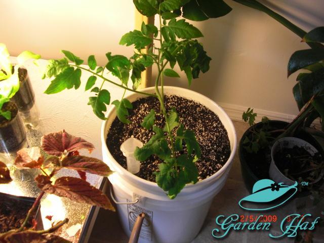 Tomato being grown in a Bucket SIP - Garden Hat