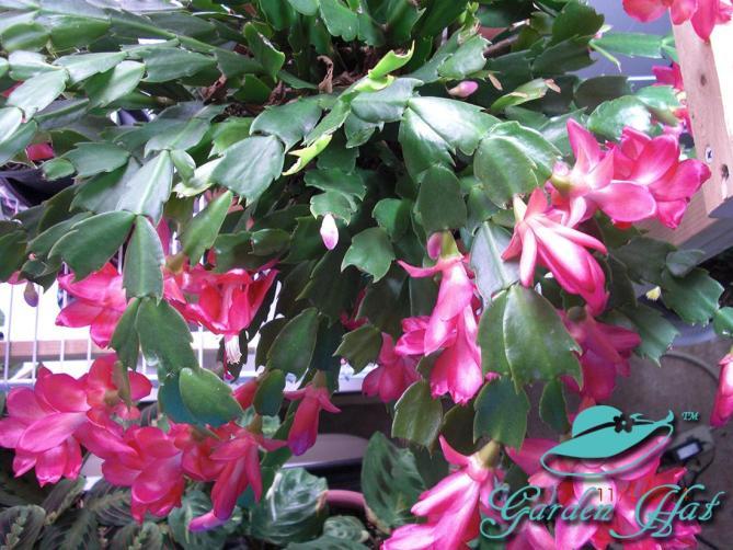 Coral-Christmas-Cactus-Garden-Hat
