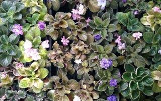 Garden_Hat_All_Types_African_Violets