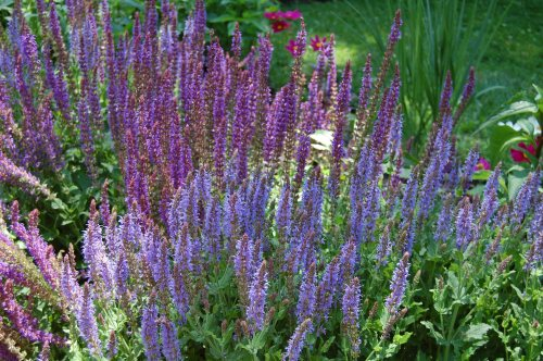 Medium Of May Night Salvias