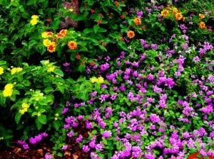 landscaping plants lantana morguefile