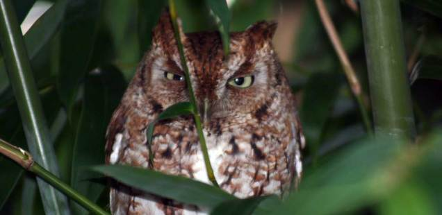 Meet Howard The Screech Owl